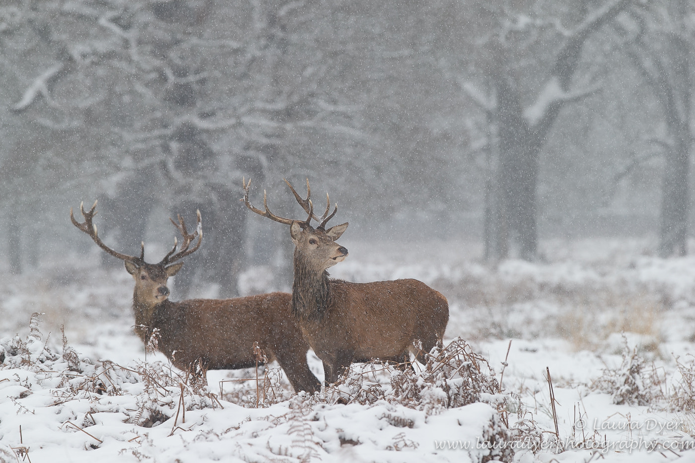 Photograph Snowy Red Deer stags by Laura Dyer on 500px