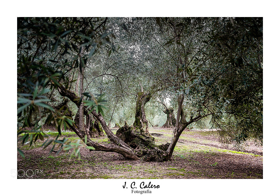 Photograph Olivos centenarios by Juan Carlos Calero on 500px