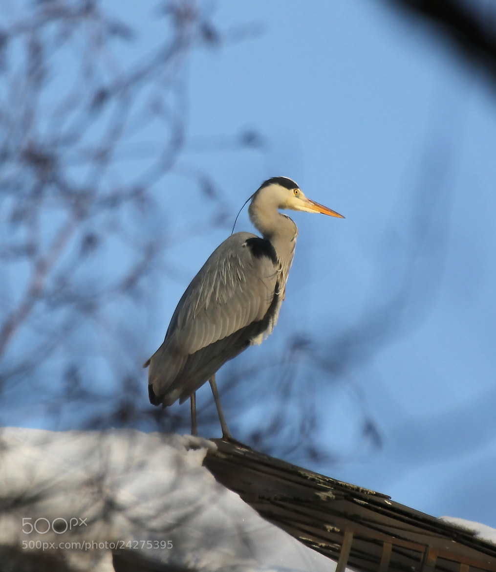 Photograph heron on top of roof by Ralf Muhl on 500px
