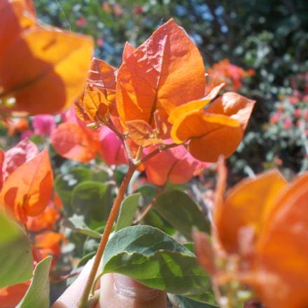 Spring flower, Nikon COOLPIX L26