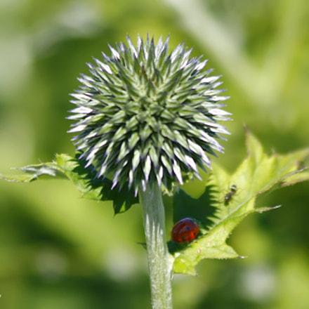 Ladybug, Canon EOS DIGITAL REBEL XSI, Canon EF 75-300mm f/4-5.6 IS USM