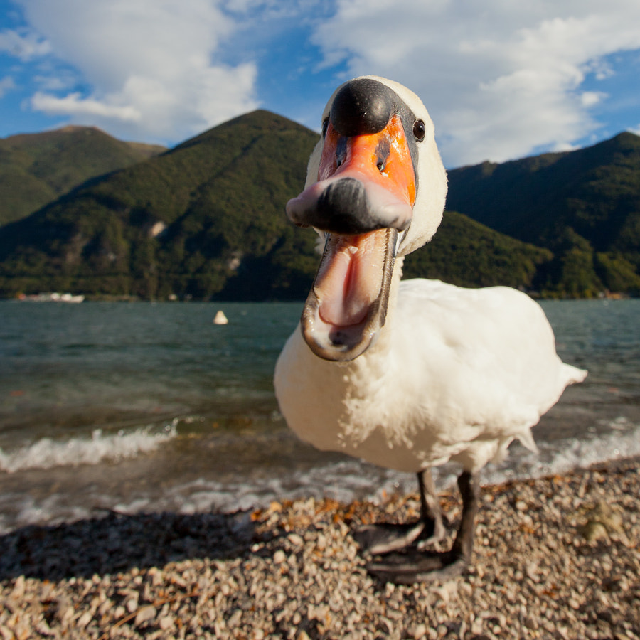 "A ""killer"" swan attacking my 16-35mm lens"