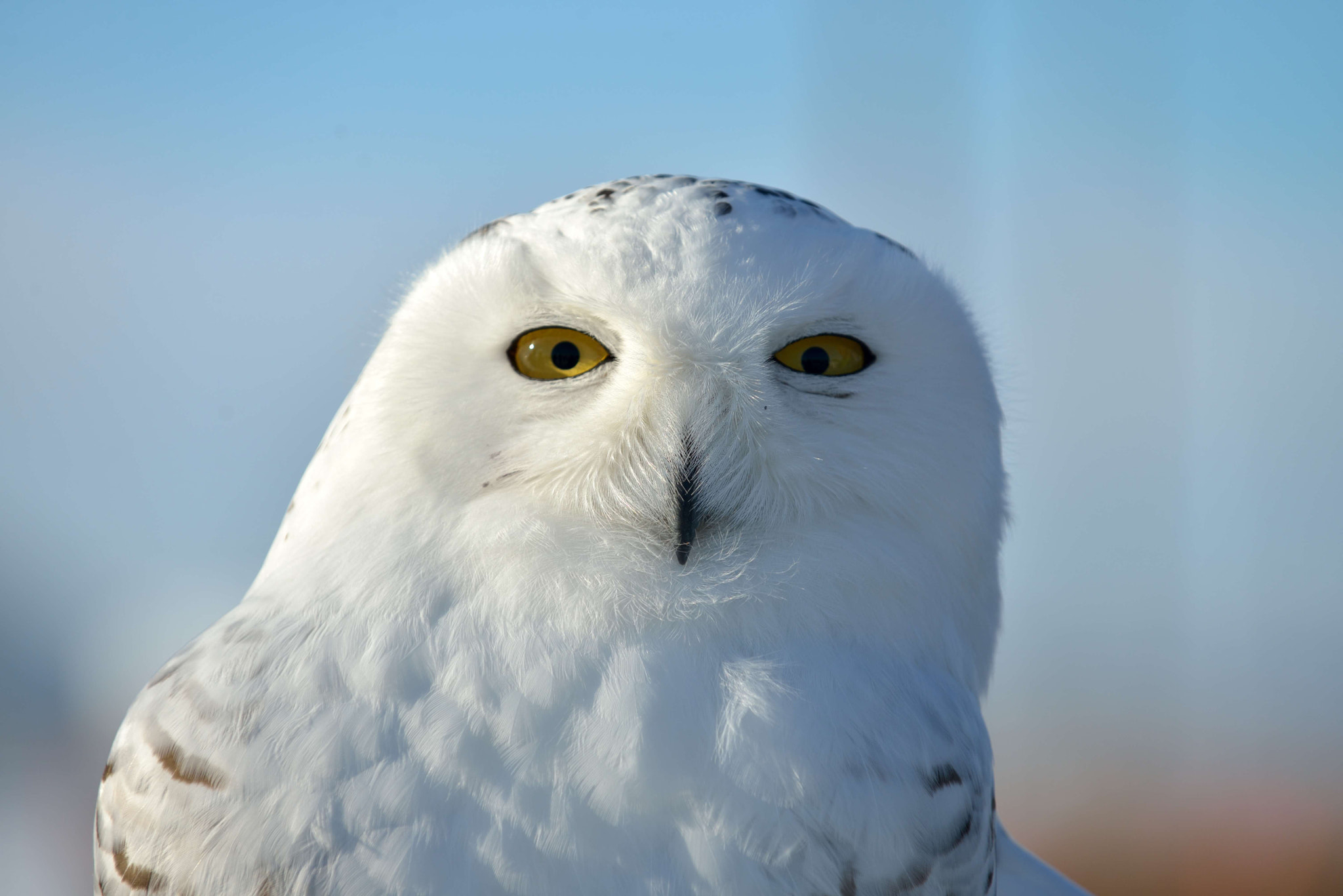 Photograph Snowy Owl by Sylvia L on 500px