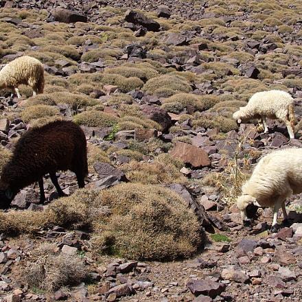 Sheeps at Jebel Toubkal, Fujifilm FinePix S5600