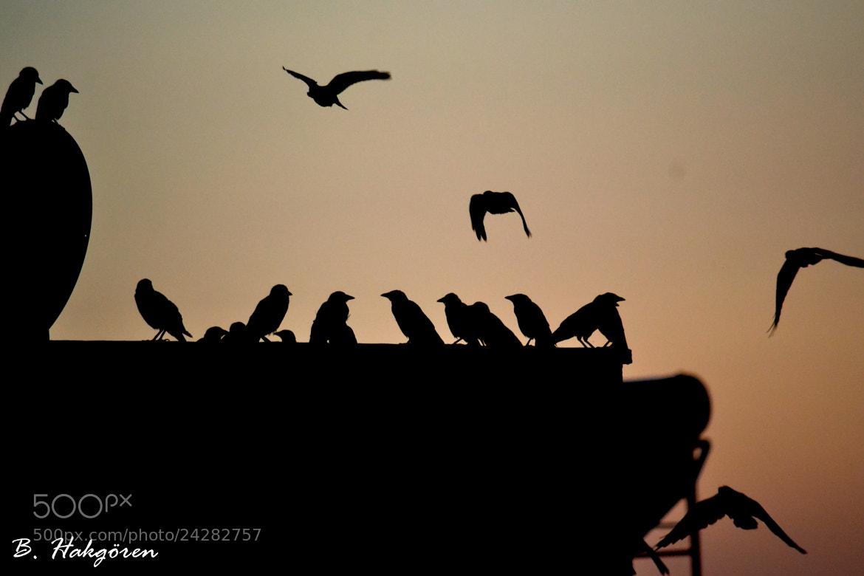 Photograph Migration of Crows by Büşra Hakgören on 500px