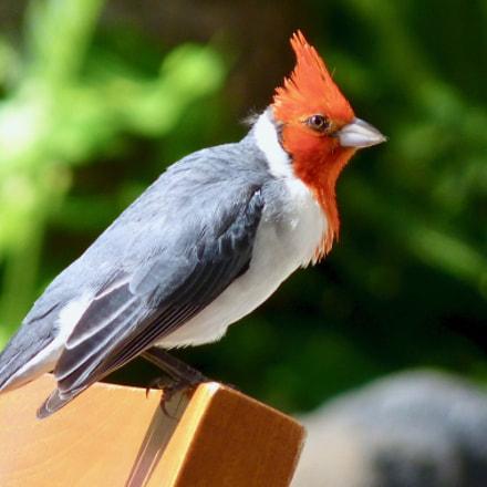 Hawaiian crested cardinal, Panasonic DMC-FZ35