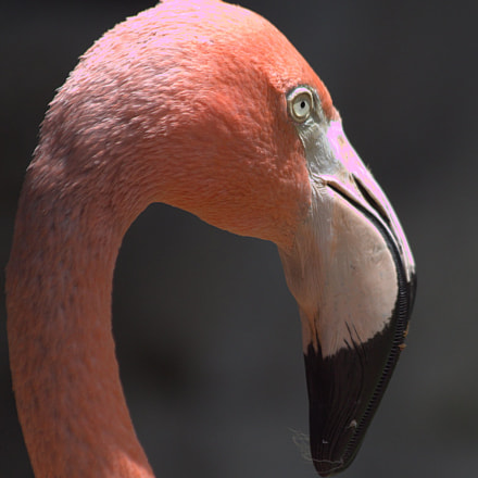 Flamingo 3, Canon EOS 7D, Canon EF 70-300mm f/4-5.6 IS USM