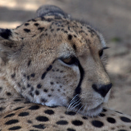 Cheetah, Canon EOS 7D, Canon EF 70-300mm f/4-5.6 IS USM