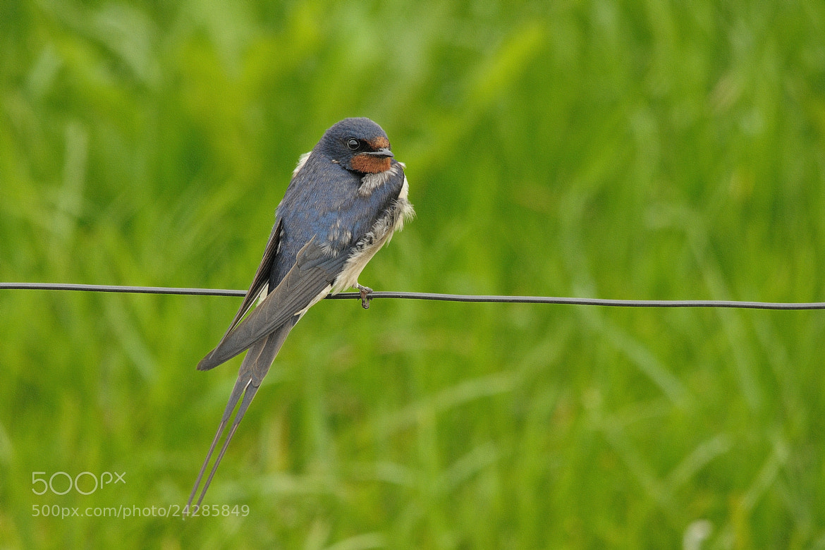 Photograph Barn Swallow by B Timmer on 500px
