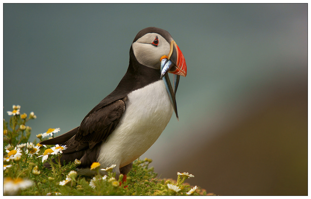 Photograph Puffin with eels by Geoffrey Baker on 500px