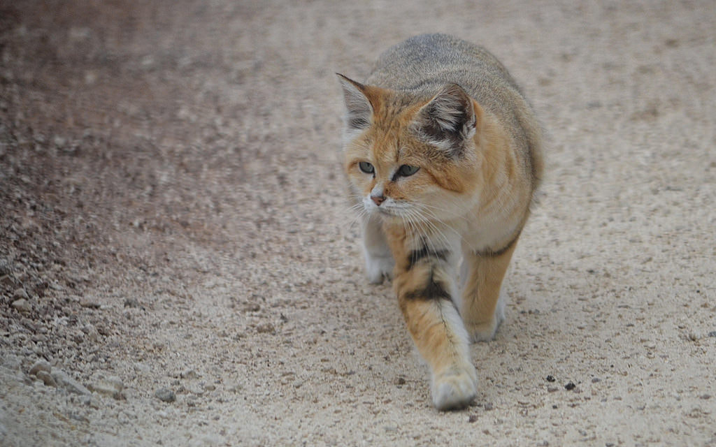 Photograph Arabian sand cat by Michel L'HUILLIER on 500px