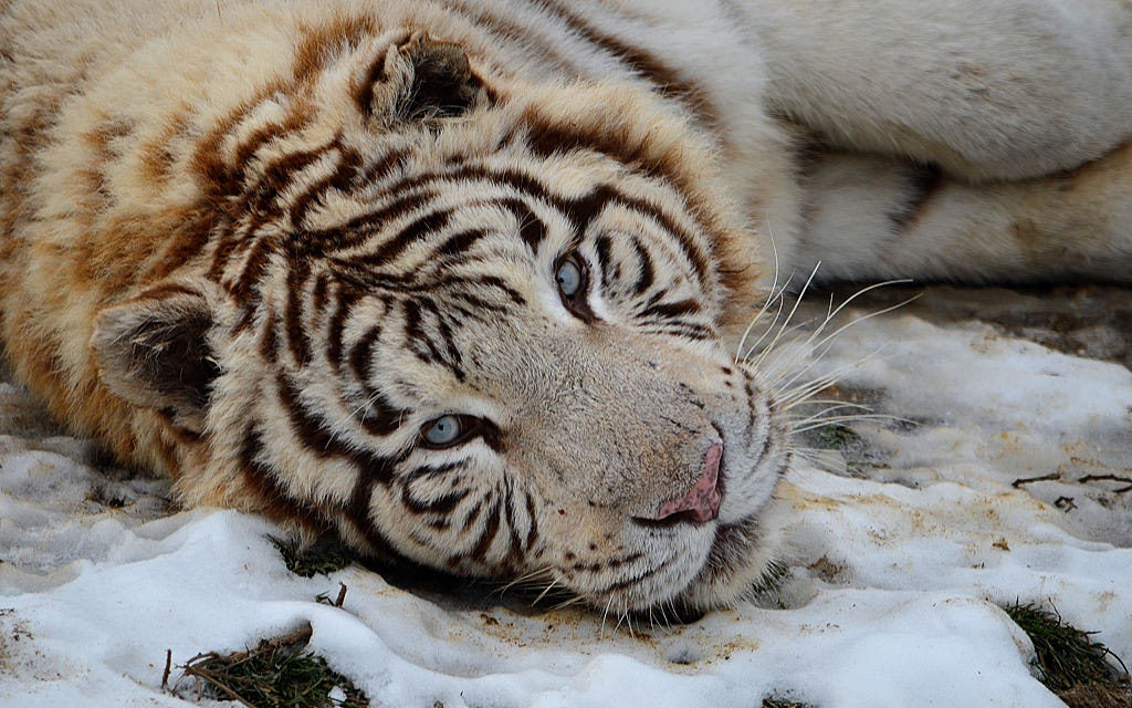 Photograph Sad white tiger by Michel L'HUILLIER on 500px