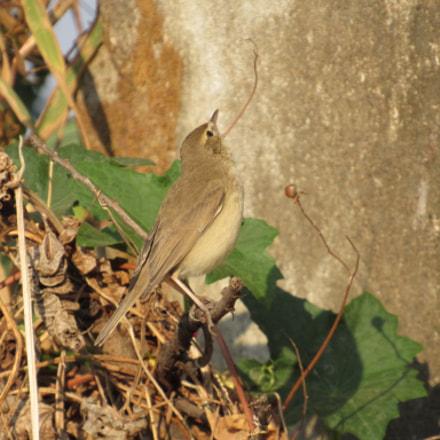 baby bird  sparrow, Canon POWERSHOT SX520 HS