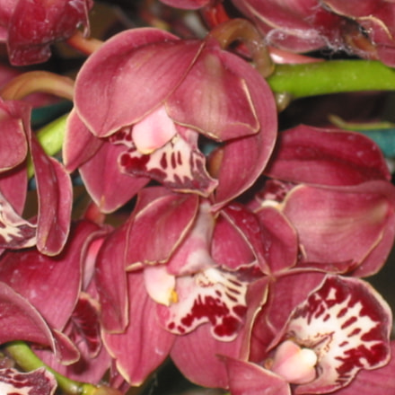 The darling flowers! Orchid!, Canon POWERSHOT S40