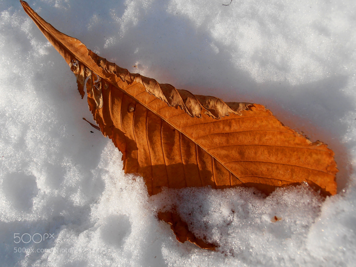 Photograph Chestnut leaf on snow by Snezana Petrovic on 500px