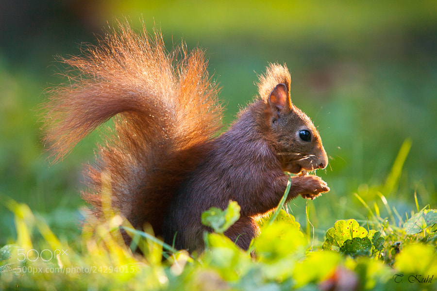 Photograph Squirrel & Sunshine by Tobias Kuhl on 500px