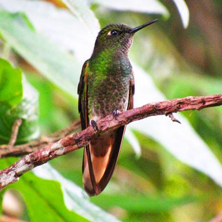 colibrí chupasavia (Boissonneaua flavescens), Canon POWERSHOT SX520 HS