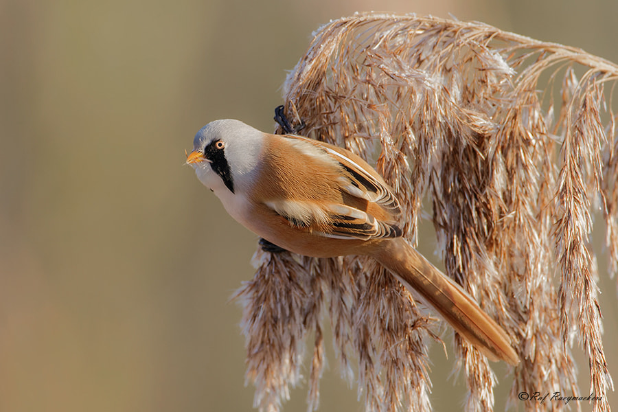 Photograph Bearded Tit by Raf Raeymaekers on 500px