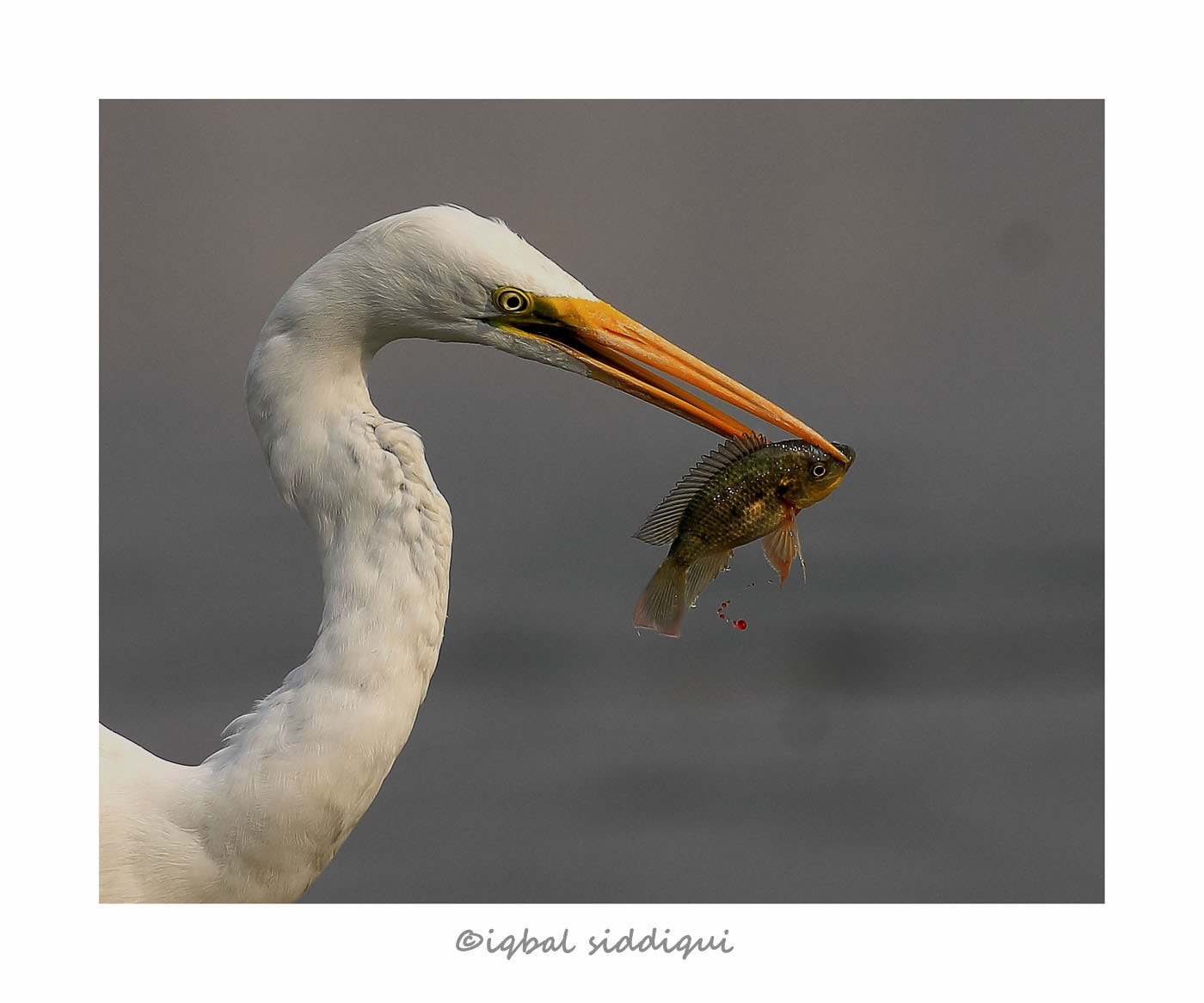 Photograph GREAT EGRET WITH A CATCH !! by Iqbal Siddiqui on 500px