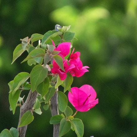 Flower in the tree, Fujifilm FinePix S2800HD