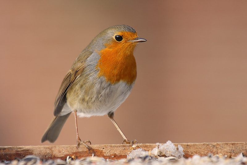 Photograph Robin by theo dierckx on 500px