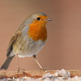 Robin by theo dierckx (diethe)) on 500px.com