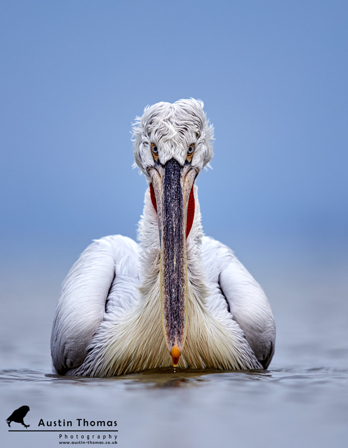 Icy cold Dalmatian Pelican