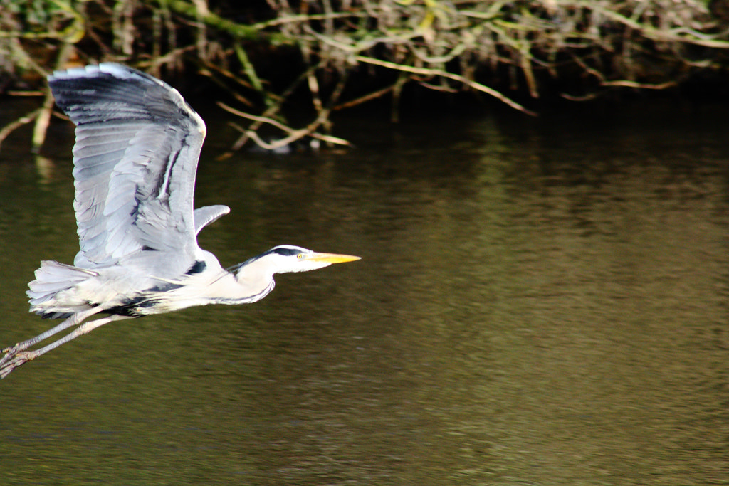 Photograph Heron 2 by Den Heffernon on 500px