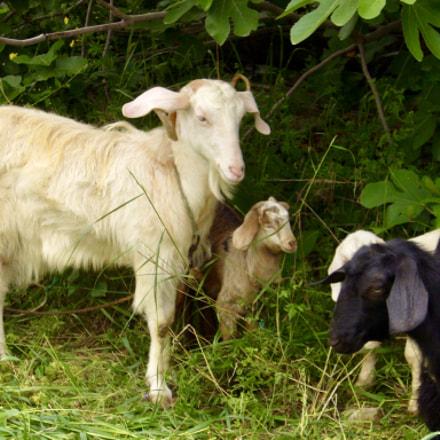 Goat Family, Panasonic DMC-FX9