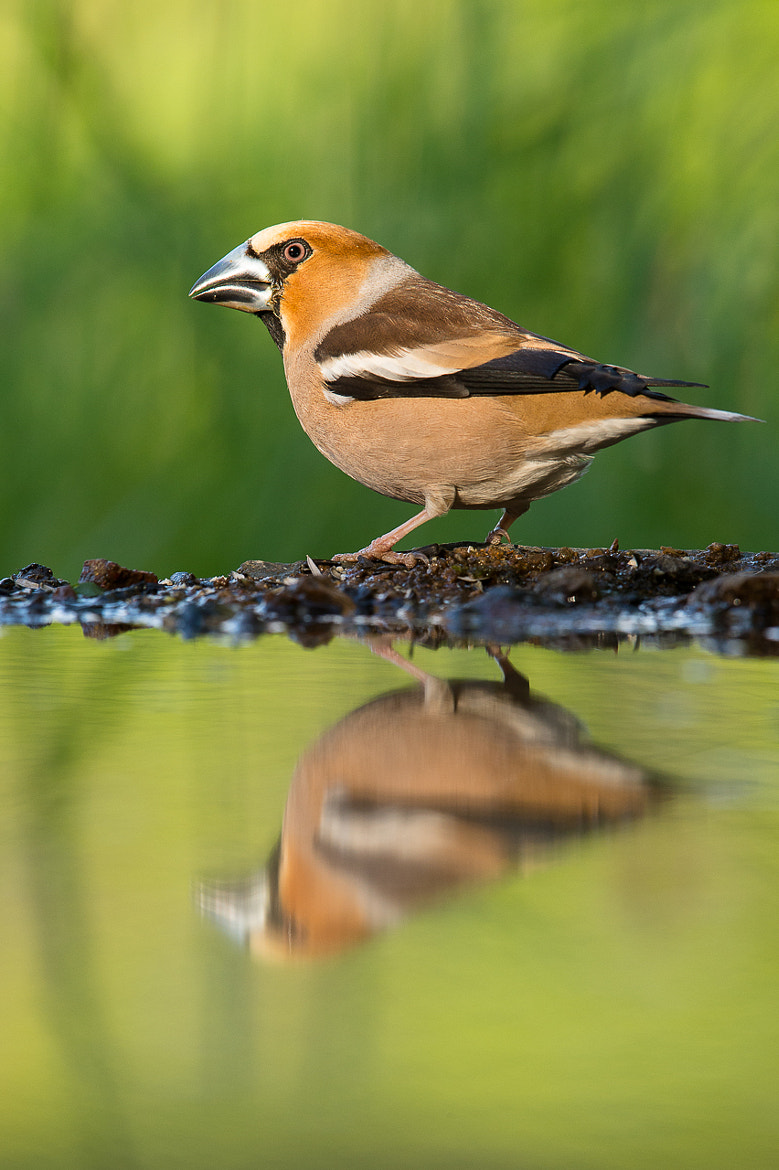 Photograph Hawfinch by Petr Šimon on 500px