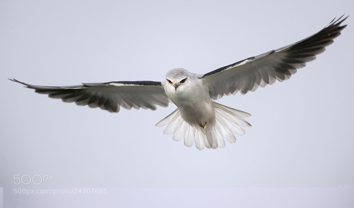 Photograph Vuelo de cernidora II by Jaime Blasco  Rodriguez on 500px