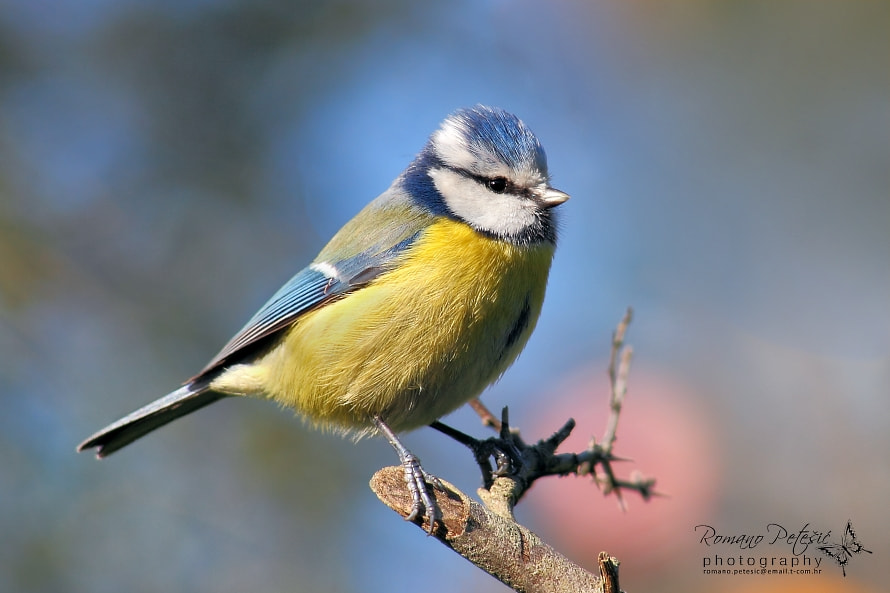 Photograph Blue tit by Romano Petesic on 500px