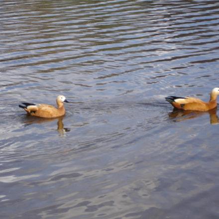 Wild mallard duck in, Sony DSC-W7