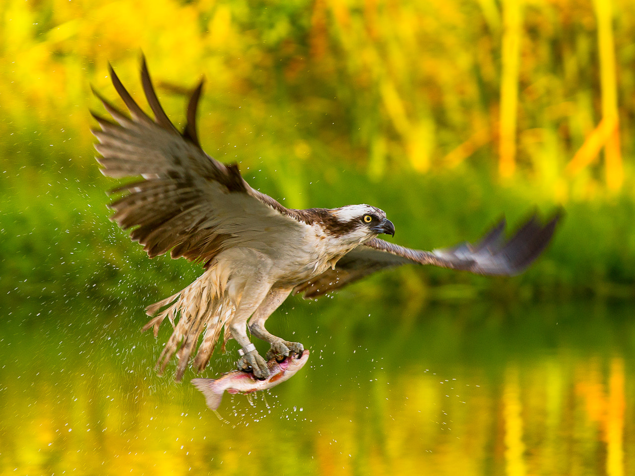 Photograph Osprey by Petr Šimon on 500px