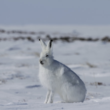 Arctic hare Lepus arcticus, Canon EOS 7D, Canon EF 300mm f/2.8L IS