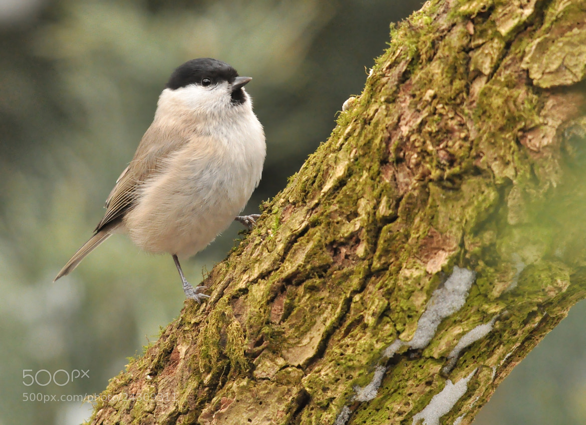 Photograph March Tit (Poecile palustris) by Přemysl Škaloud on 500px