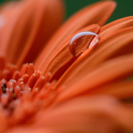 Drop on flower, Nikon D5200, AF-S VR Micro-Nikkor 105mm f/2.8G IF-ED