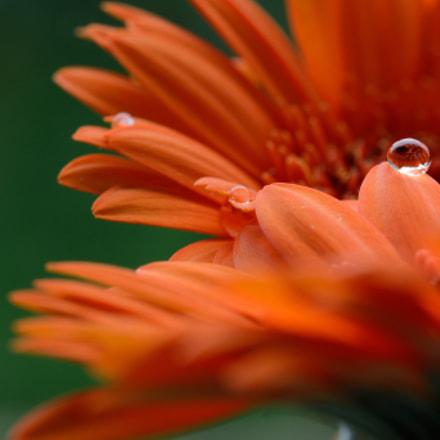 Drop on flower 2, Nikon D5200, AF-S VR Micro-Nikkor 105mm f/2.8G IF-ED