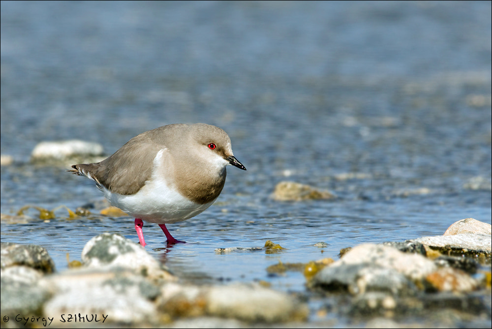 Photograph Magellanic Plover (Pluvianellus socialis) by Gyorgy Szimuly on 500px