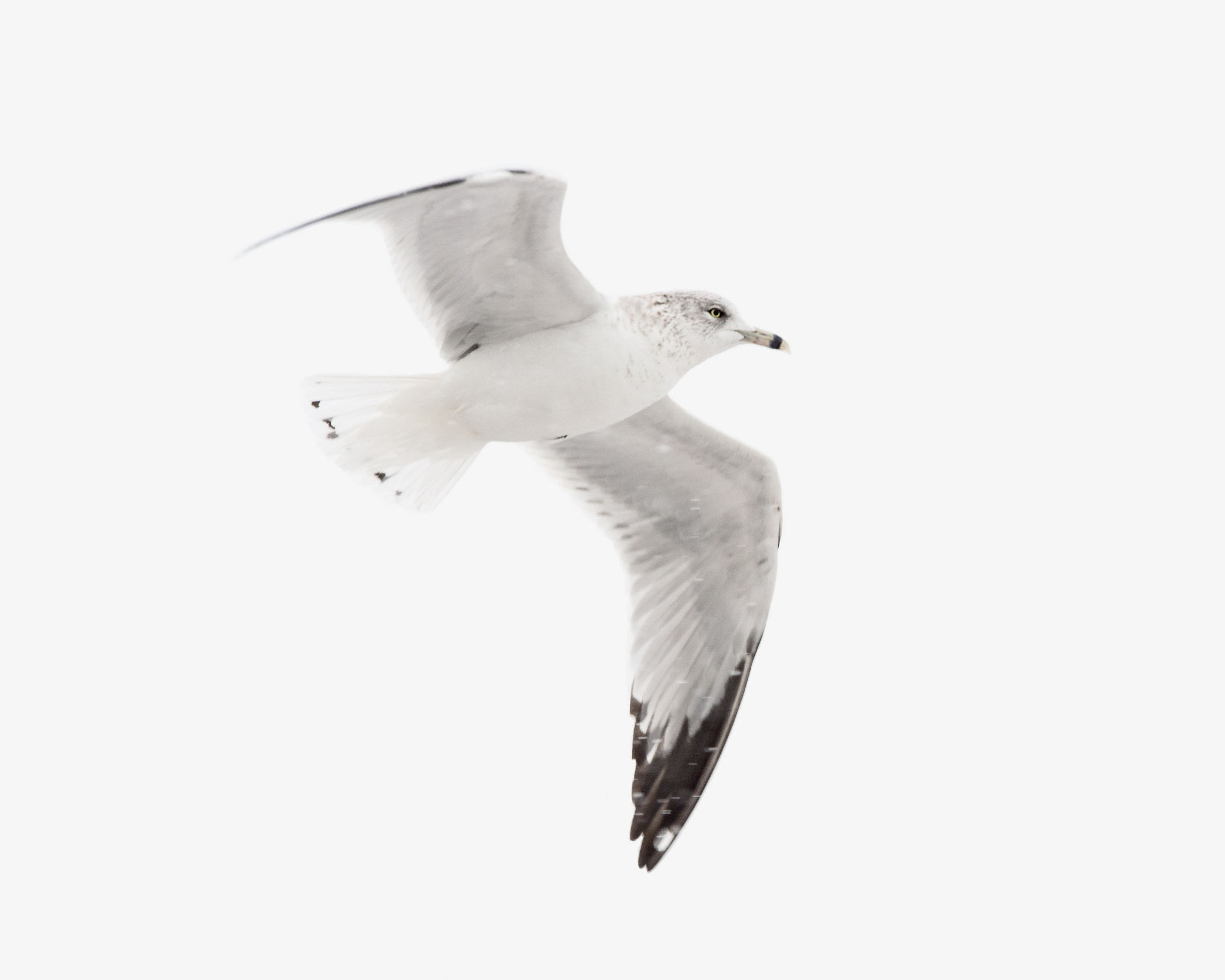 Photograph Ring Billed Gull by Steven Kersting on 500px