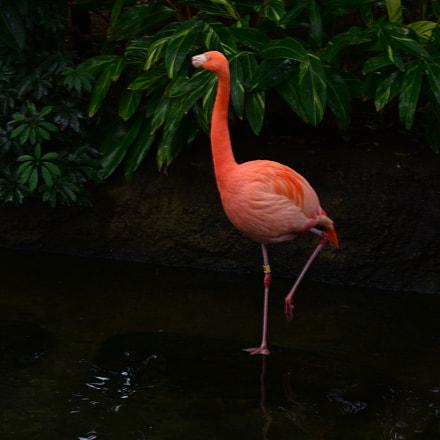Flamingo, Nikon D5200, AF-S DX Zoom-Nikkor 55-200mm f/4-5.6G ED