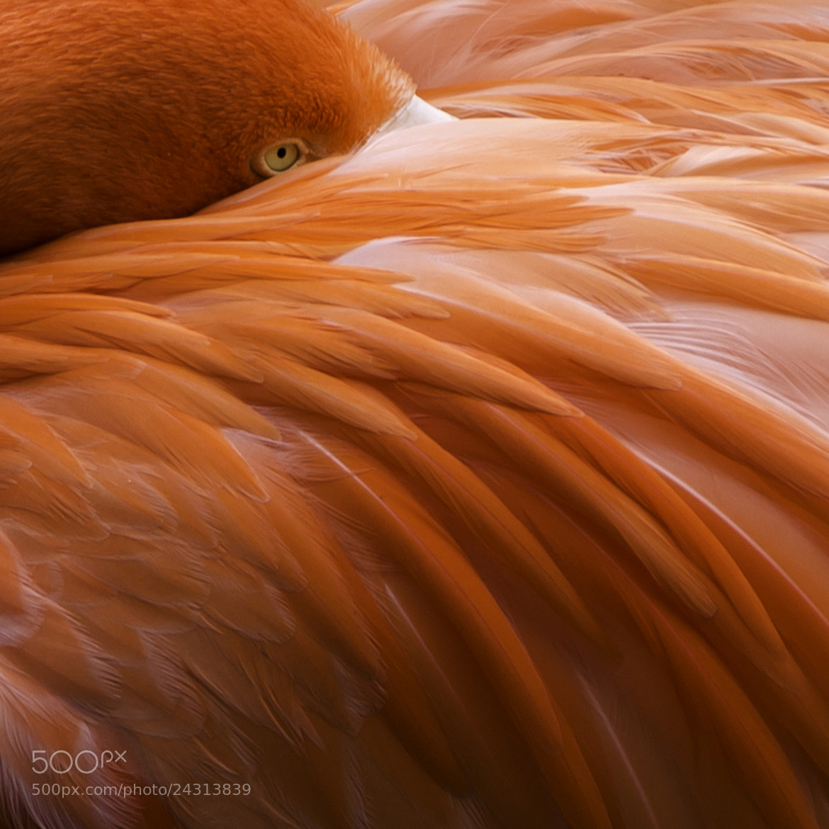 Photograph Flamingo by John Souza on 500px
