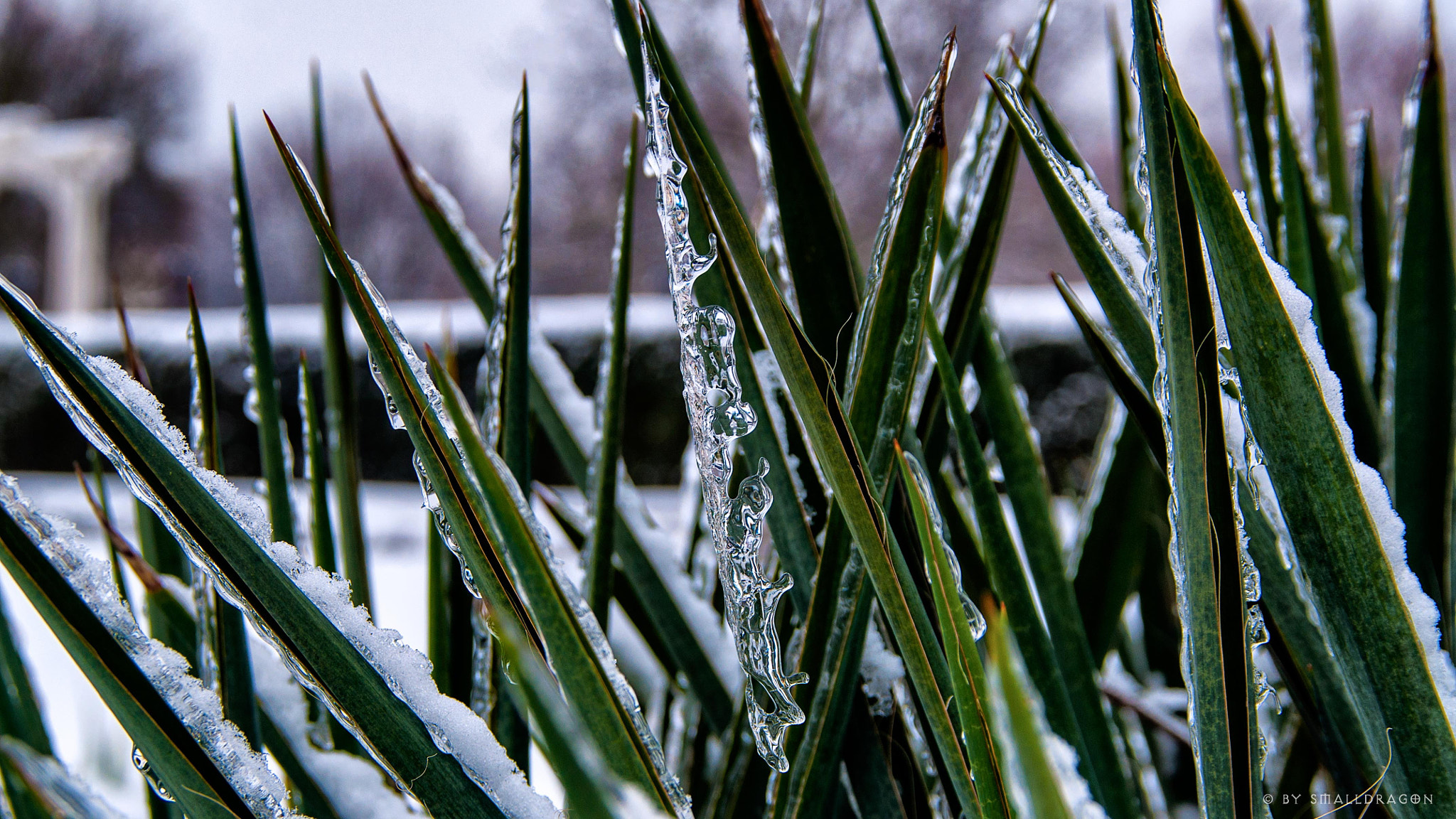 Photograph Frozen Agave by Sven Reitis on 500px
