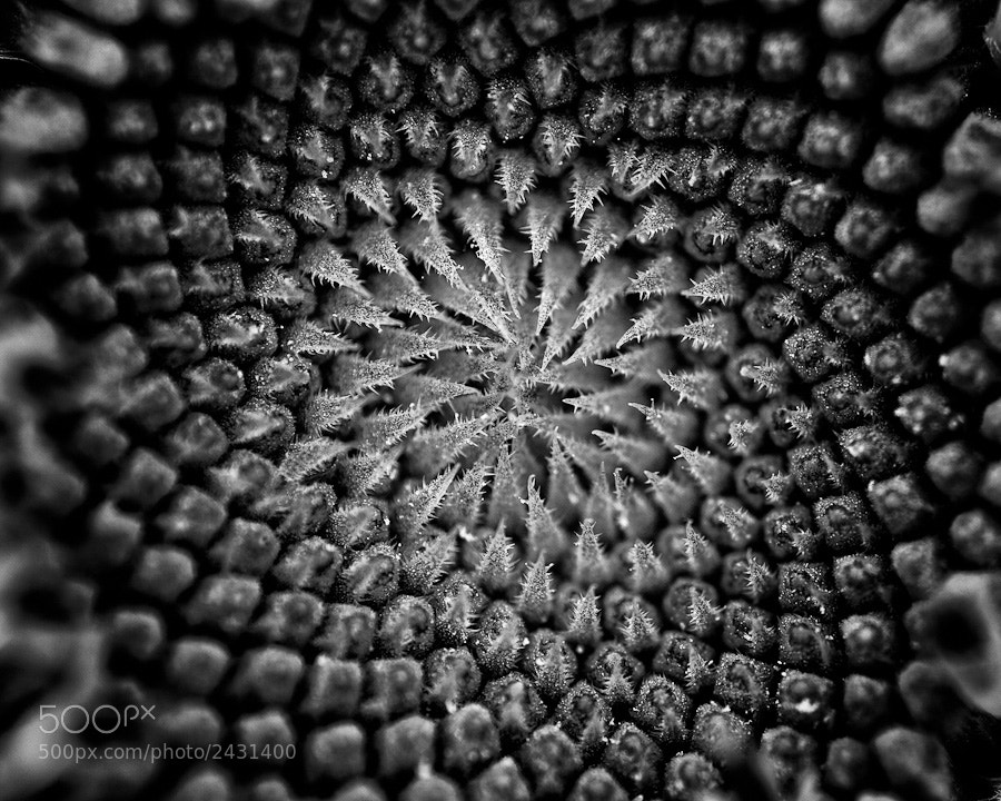 A little B&W macro work on the center of a sunflower.