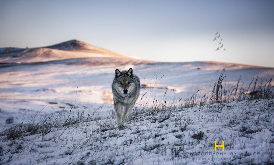 一匹来自北方的狼 by 辉哥561 on 500px.com