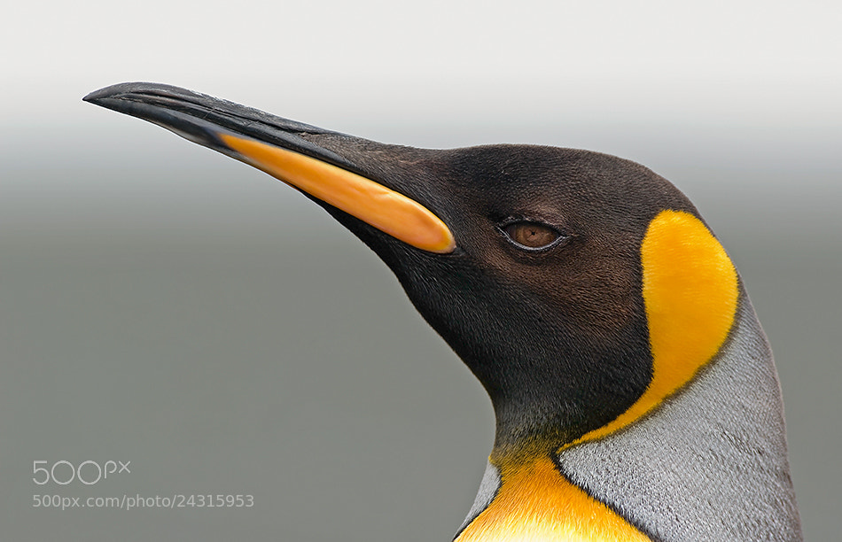 Photograph King Penguin portrait by Christian Navarrete Aravena on 500px