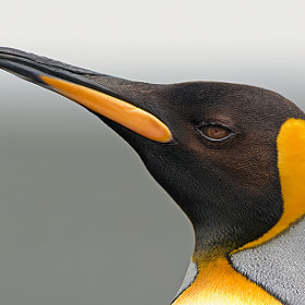 King Penguin portrait by Christian Navarrete Aravena on 500px.com