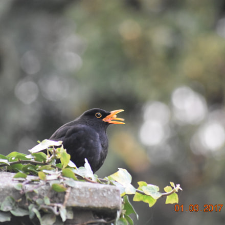 Blackbird eating, Nikon D3400, Sigma 70-300mm F4-5.6 APO DG Macro HSM