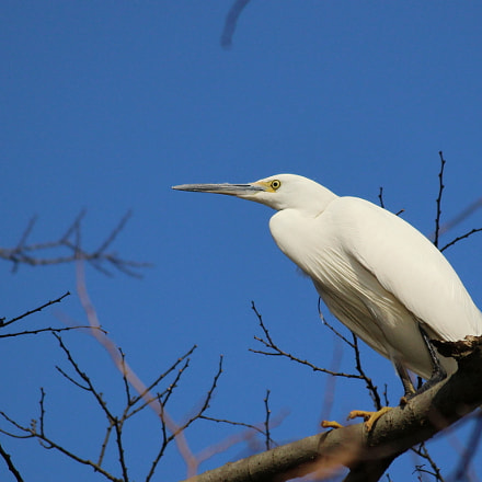 Little Egret, Canon EOS KISS X7, Canon EF-S 55-250mm f/4-5.6 IS II