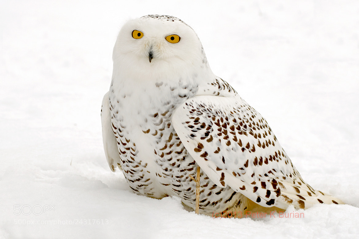 Photograph Snowy Owl in Snow  by Peter K Burian on 500px